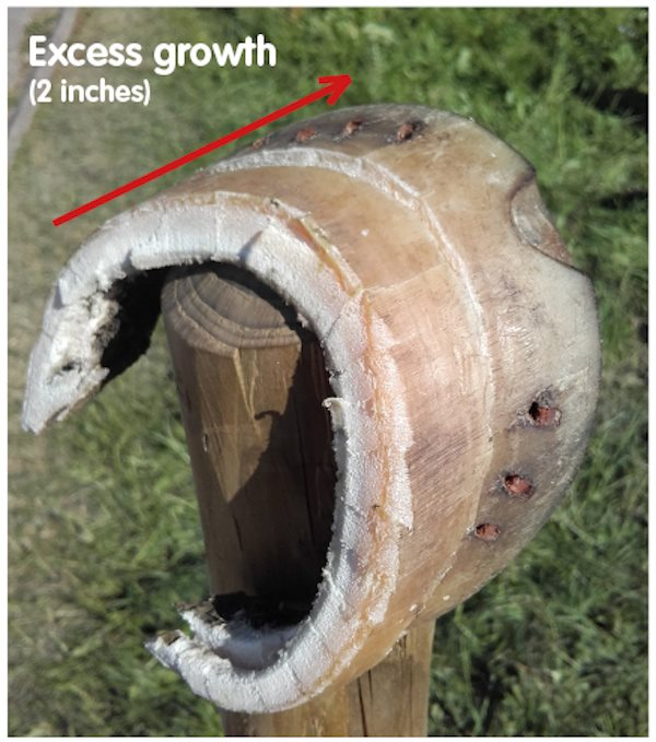 Image 6 Hoof trimmings excessive growth (600px * 679px)