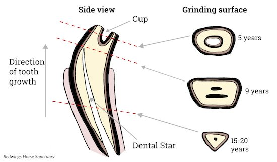 Horse Tooth Diagram - Wiring Diagram Database •